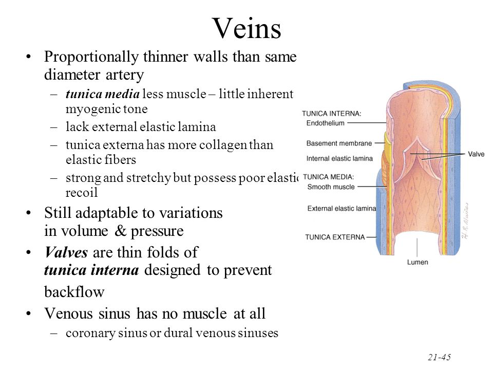 Veins Proportionally thinner walls than same diameter artery