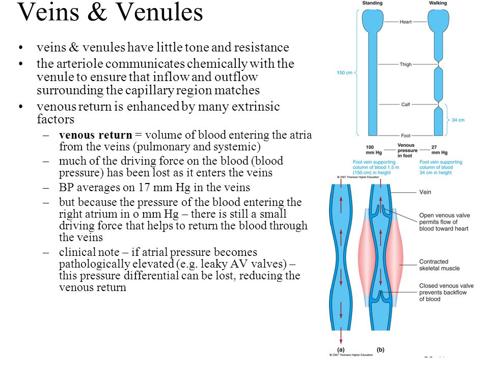 Veins & Venules veins & venules have little tone and resistance