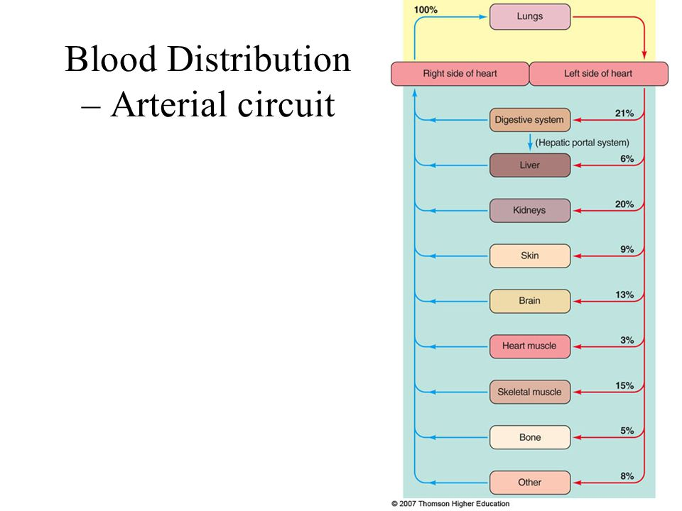 Blood Distribution – Arterial circuit
