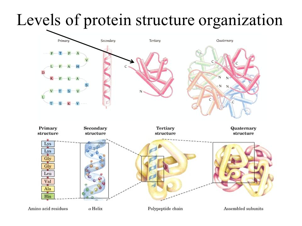 Levels of protein structure organization