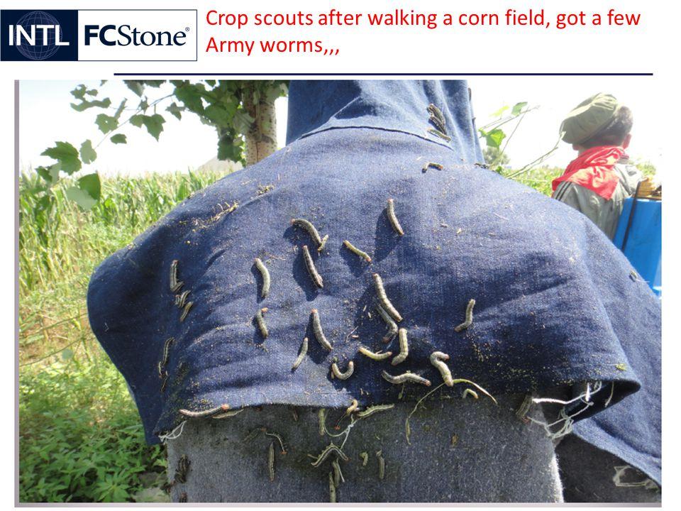 Crop scouts after walking a corn field, got a few