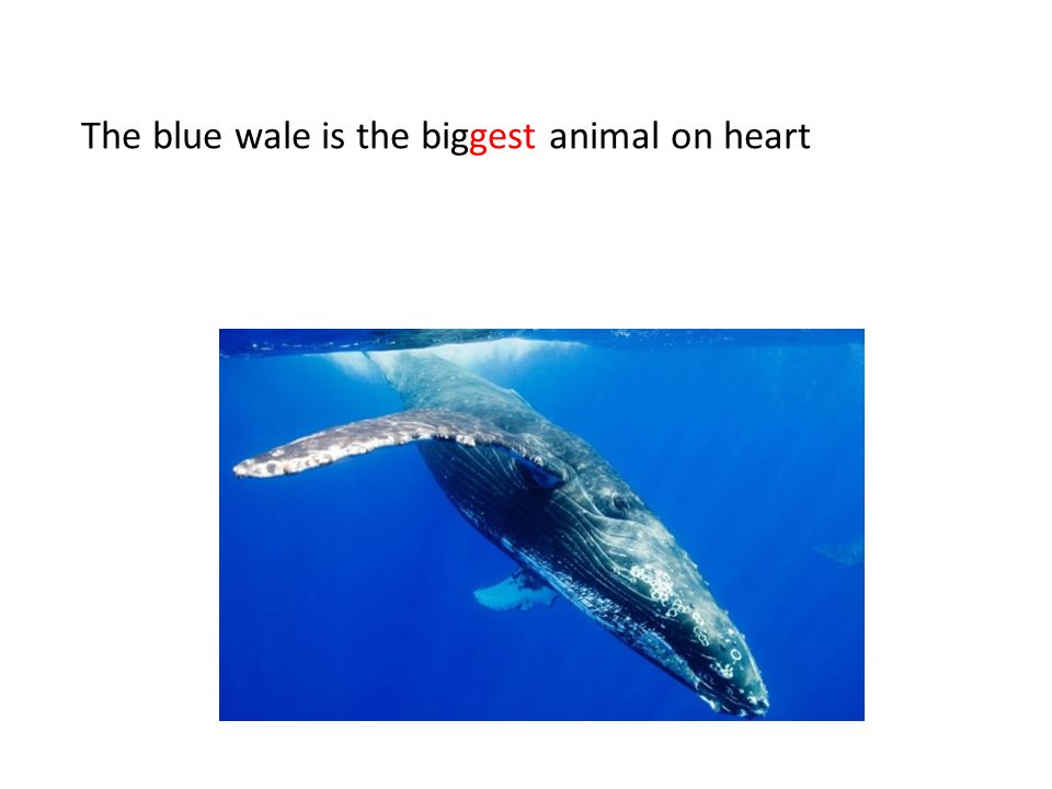 The blue wale is the biggest animal on heart