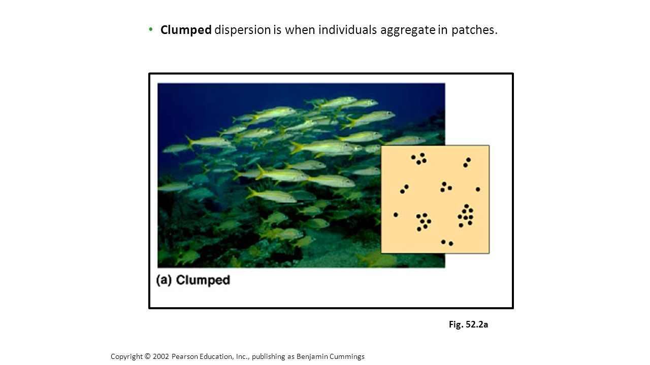 Clumped dispersion is when individuals aggregate in patches.