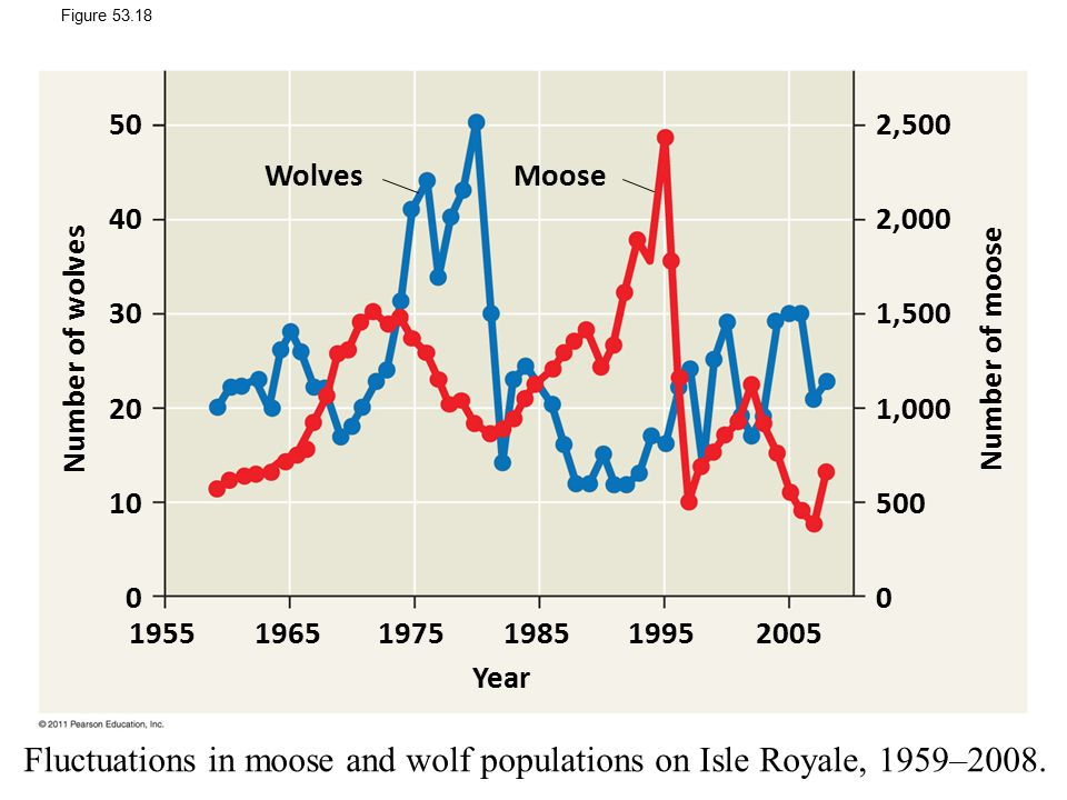 Fluctuations in moose and wolf populations on Isle Royale, 1959–2008.