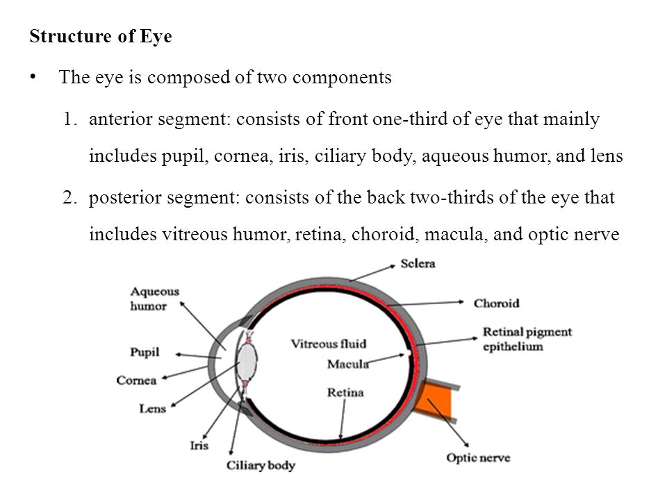 Structure of Eye The eye is composed of two components.