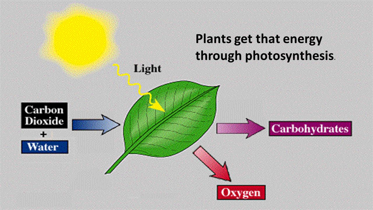 Plants get that energy through photosynthesis.