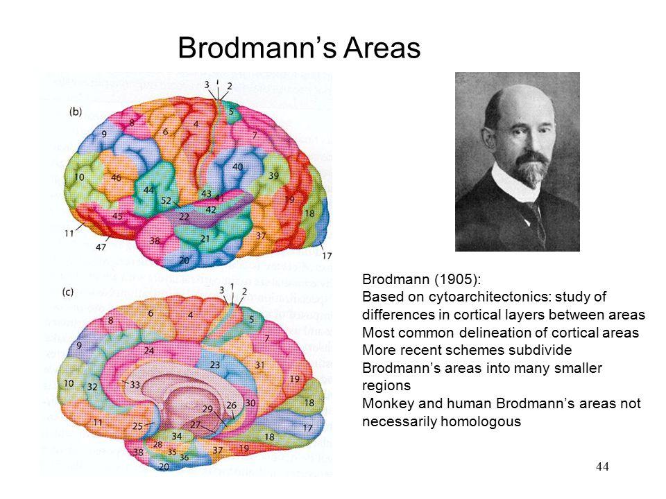 Brodmann's Areas Brodmann (1905):