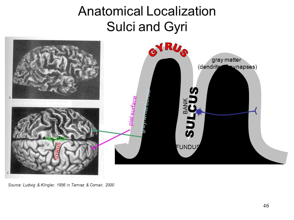 Anatomical Localization Sulci and Gyri