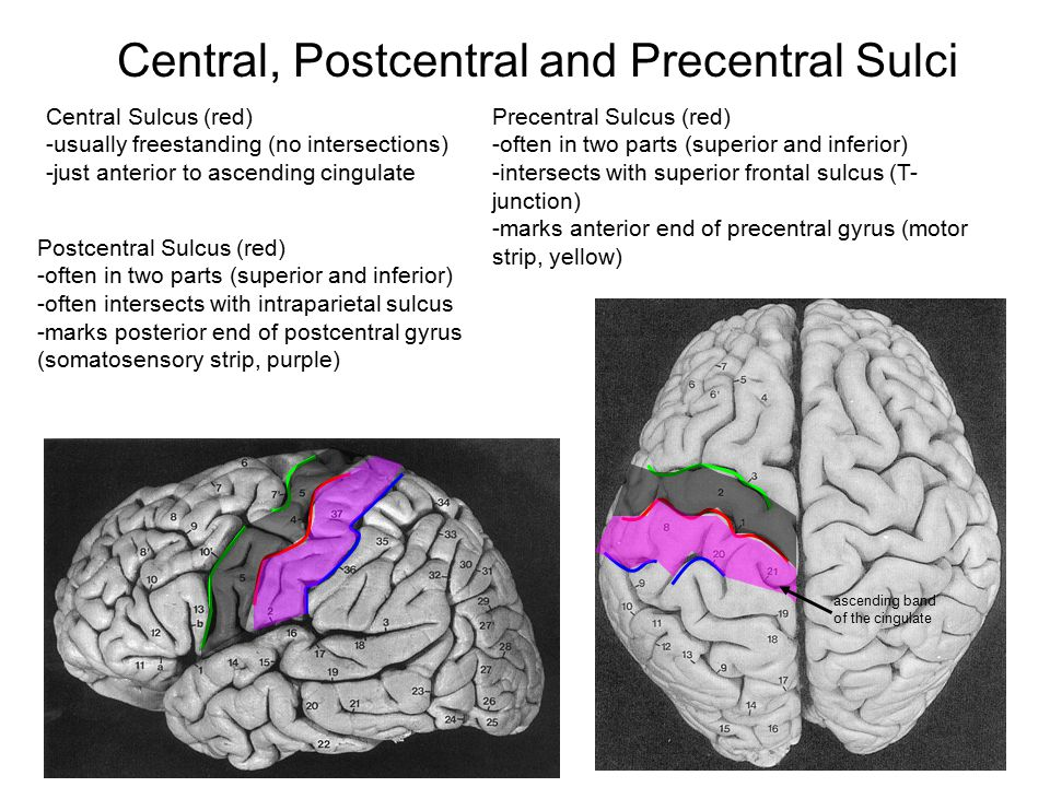 Central, Postcentral and Precentral Sulci