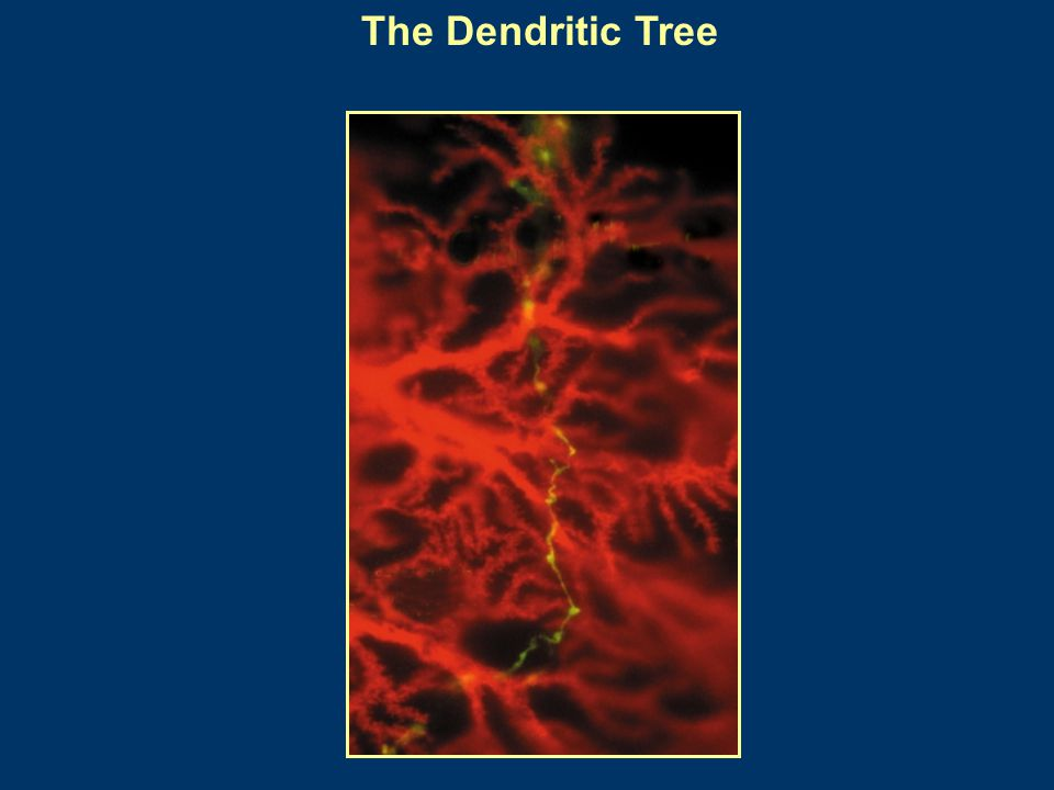 The Dendritic Tree