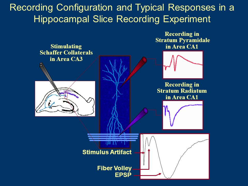 Recording Configuration and Typical Responses in a Hippocampal Slice Recording Experiment