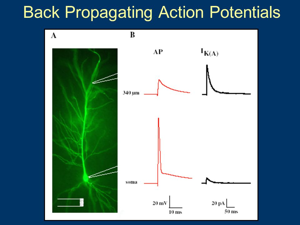 Back Propagating Action Potentials