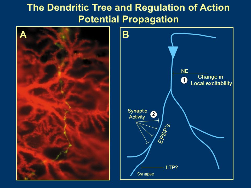 The Dendritic Tree and Regulation of Action Potential Propagation
