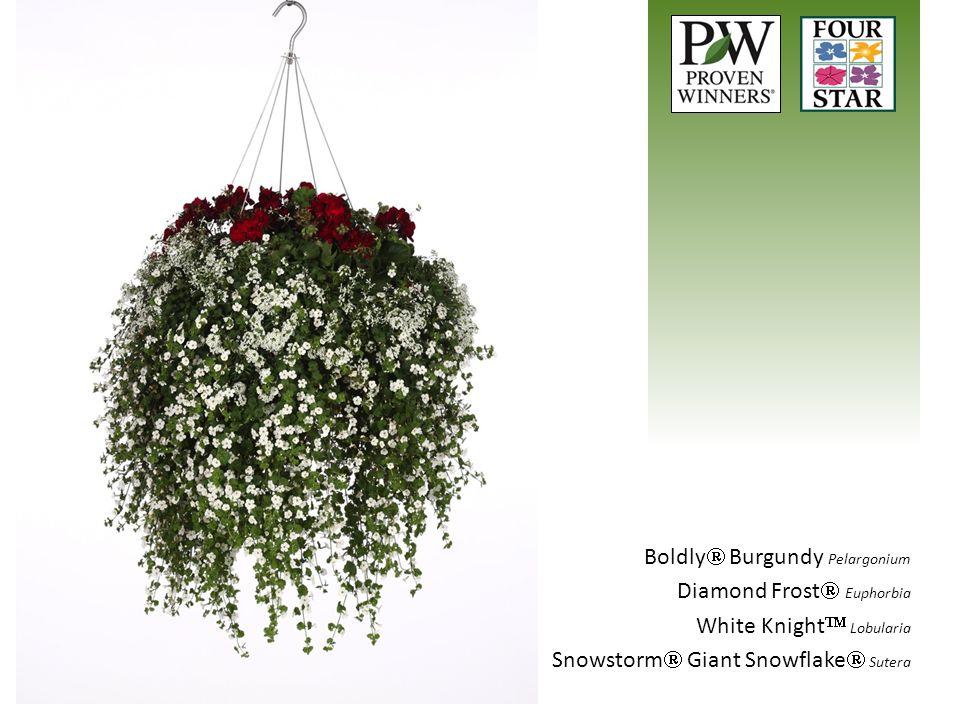 Boldly Burgundy Pelargonium