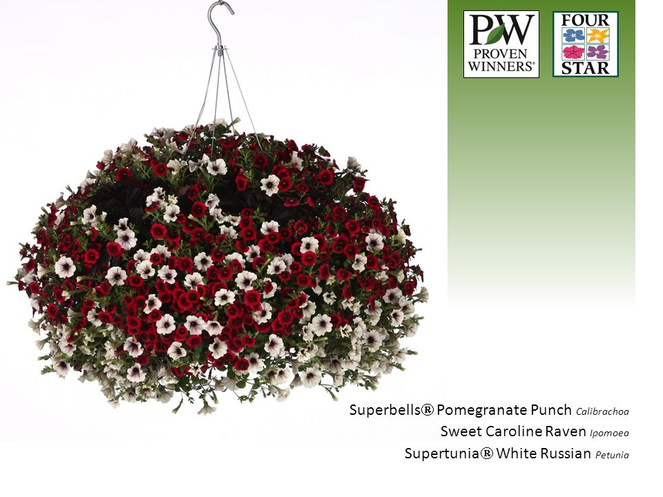 Superbells Pomegranate Punch Calibrachoa