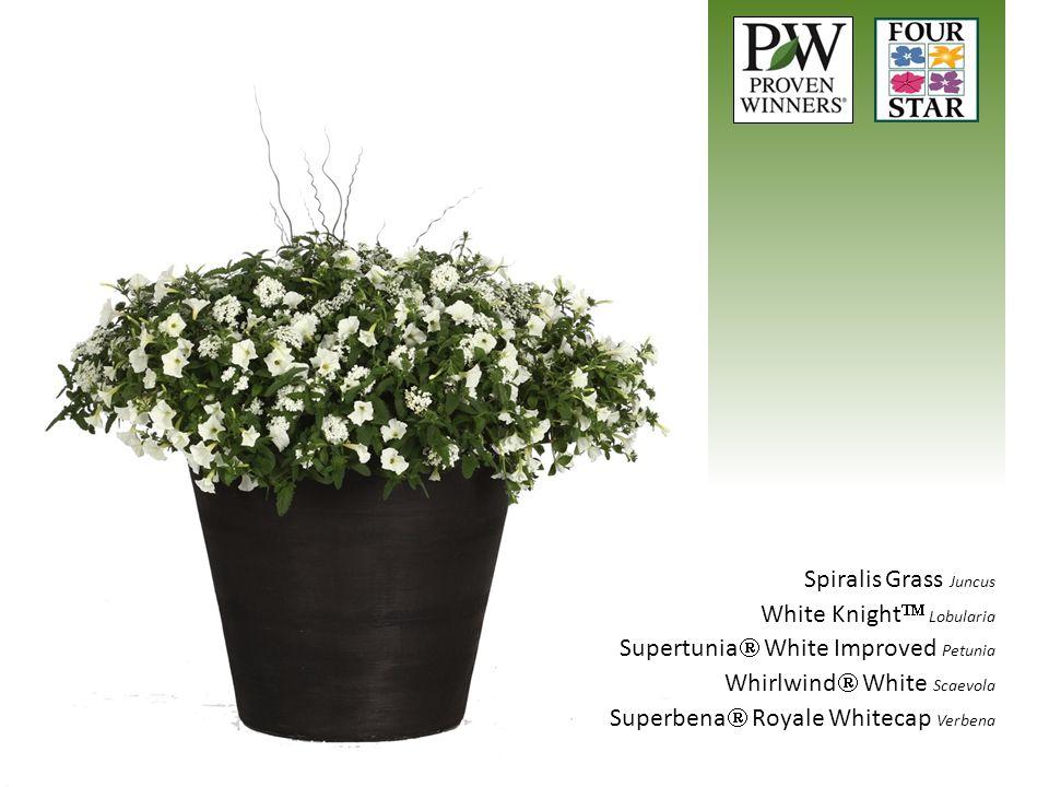 Spiralis Grass Juncus White Knight Lobularia. Supertunia White Improved Petunia. Whirlwind White Scaevola.