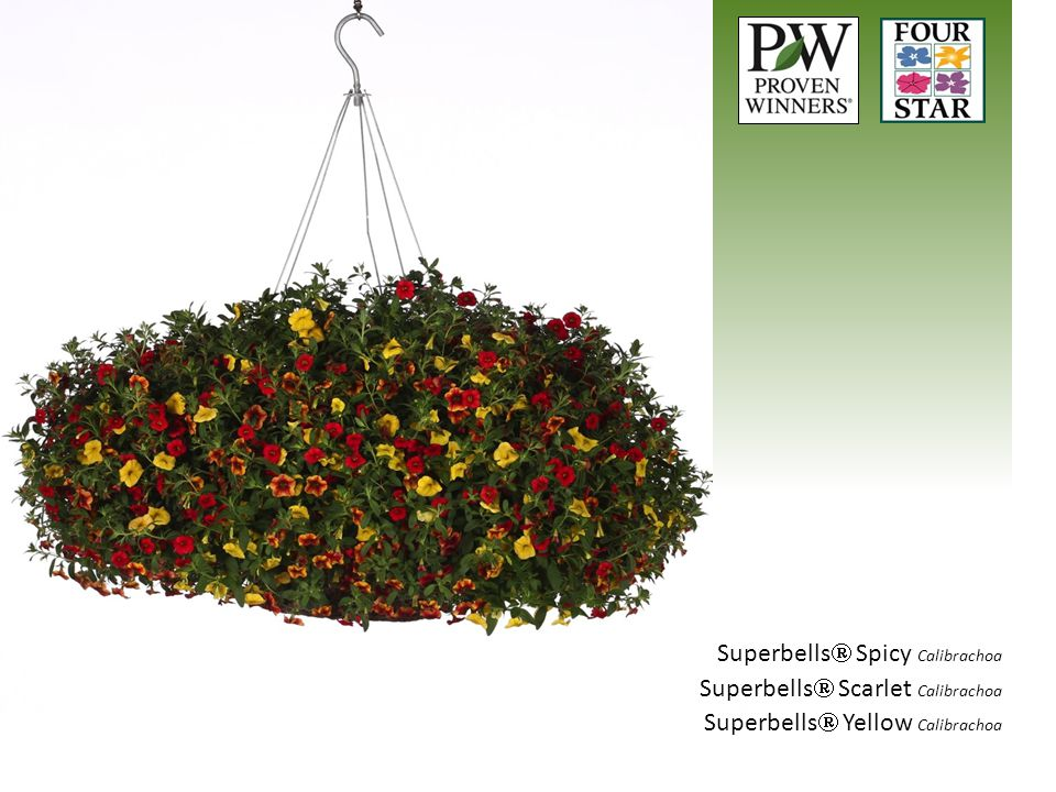 Superbells Spicy Calibrachoa