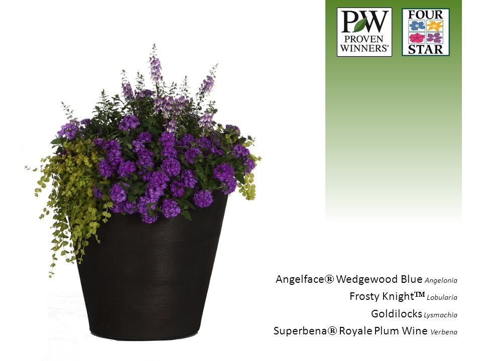 Angelface Wedgewood Blue Angelonia Frosty Knight Lobularia Goldilocks Lysmachia Superbena Royale Plum Wine Verbena