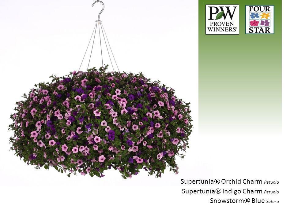 Supertunia Orchid Charm Petunia