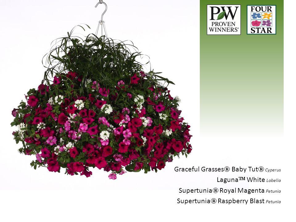 Graceful Grasses Baby Tut Cyperus