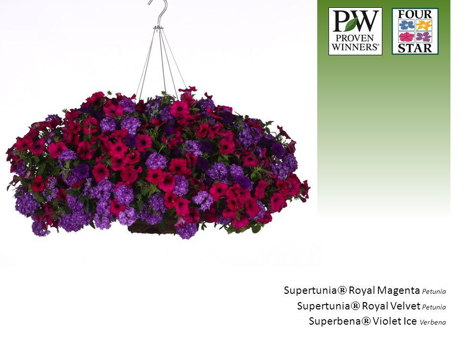 Supertunia Royal Magenta Petunia
