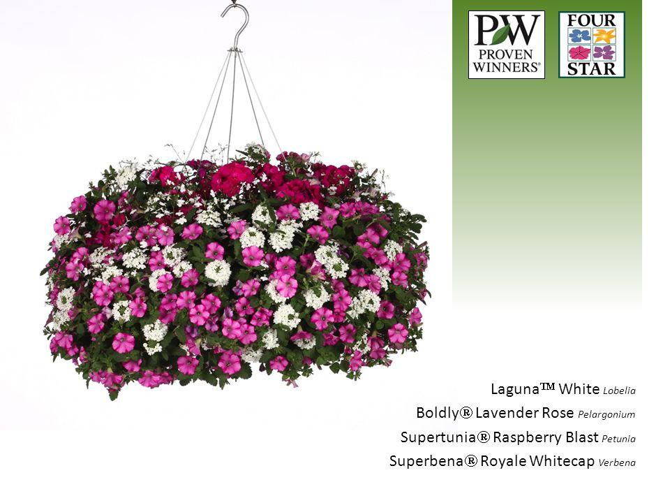 Laguna White Lobelia Boldly Lavender Rose Pelargonium.