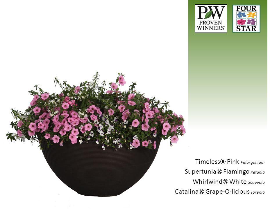 Timeless Pink Pelargonium