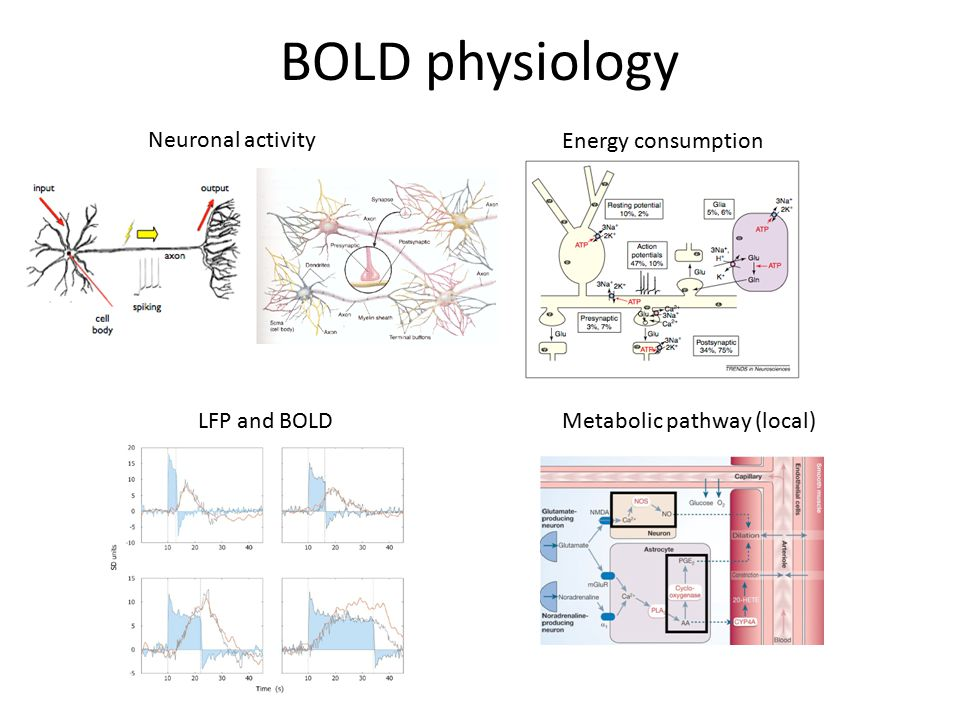 BOLD physiology Neuronal activity Energy consumption LFP and BOLD