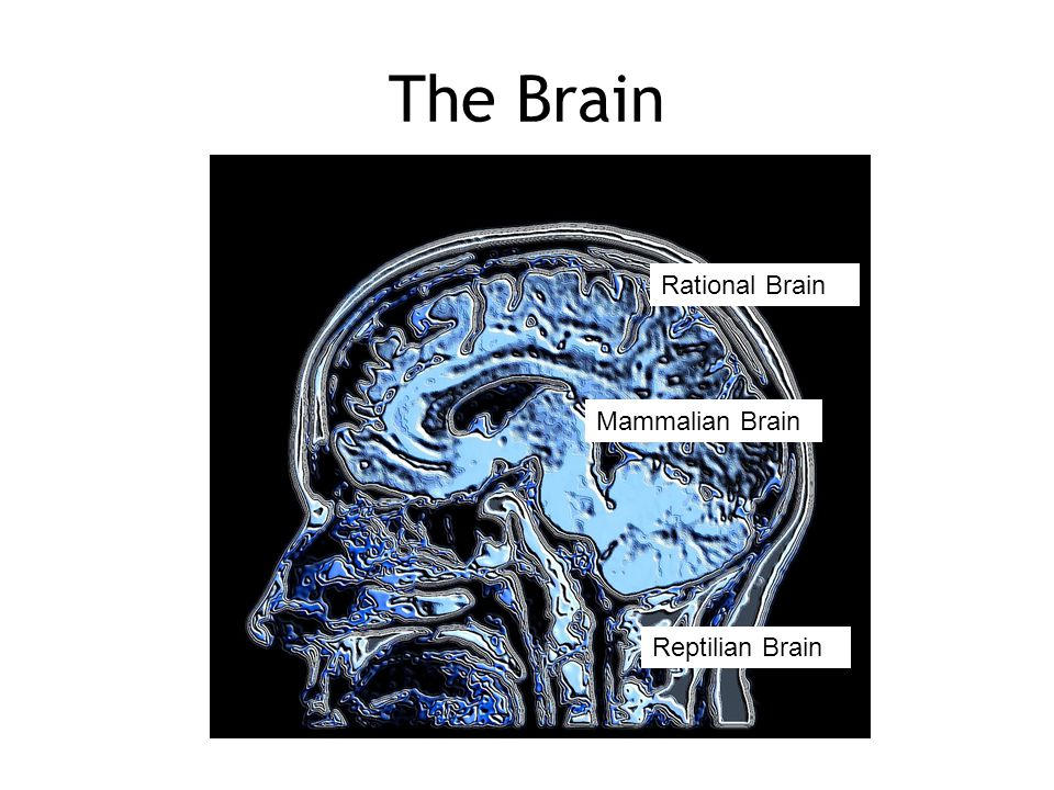The Brain Rational Brain Mammalian Brain Reptilian Brain