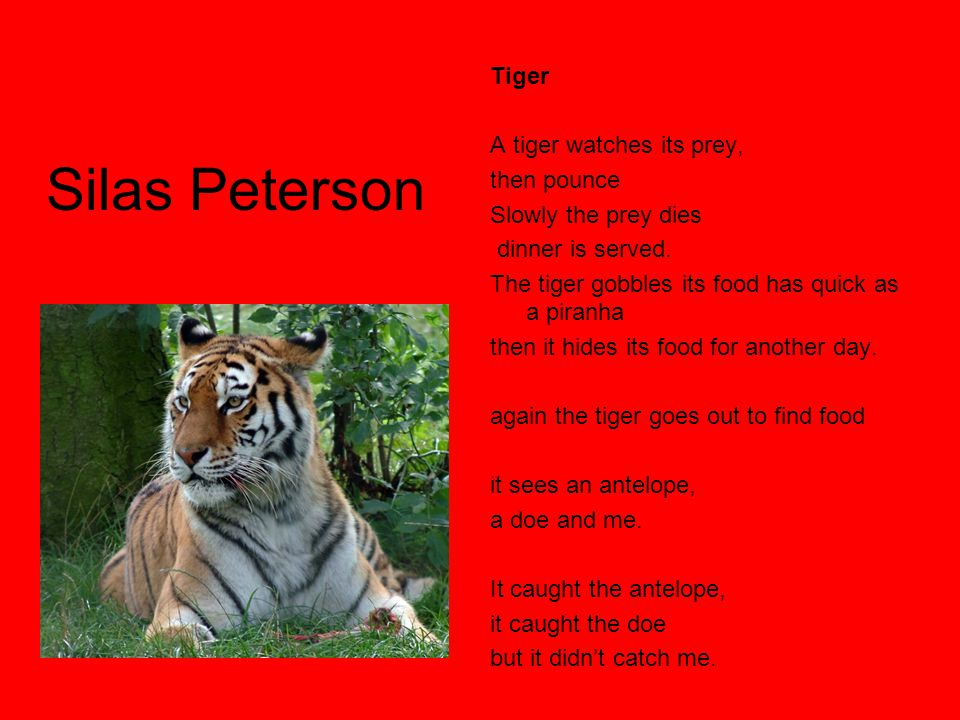 Silas Peterson Tiger A tiger watches its prey, then pounce