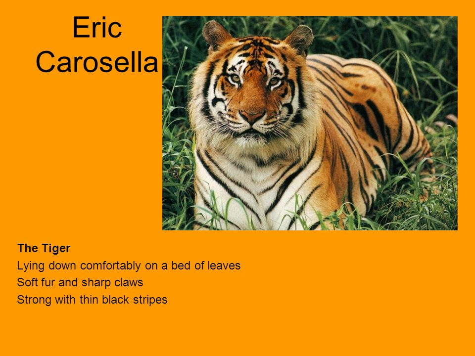 Eric Carosella The Tiger Lying down comfortably on a bed of leaves