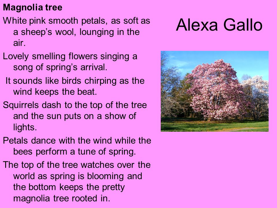 Alexa Gallo Magnolia tree
