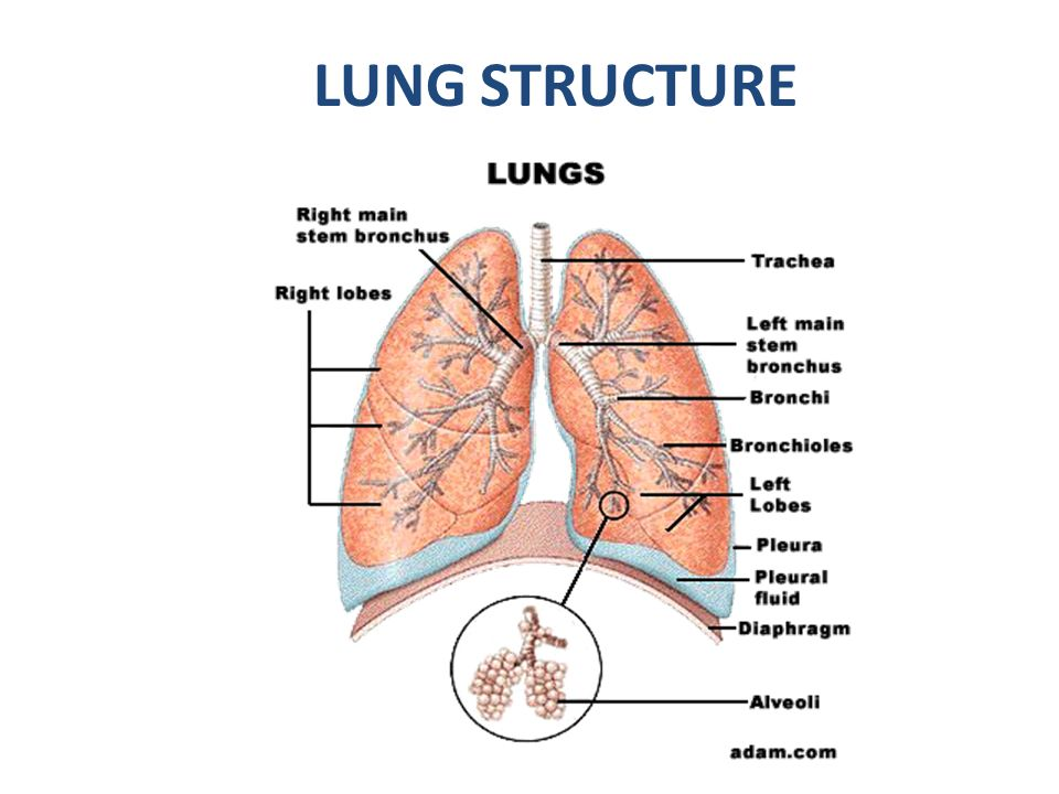 LUNG STRUCTURE