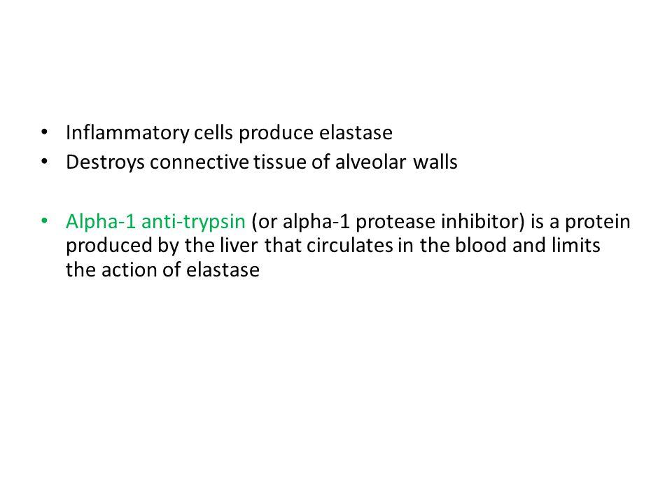 Inflammatory cells produce elastase