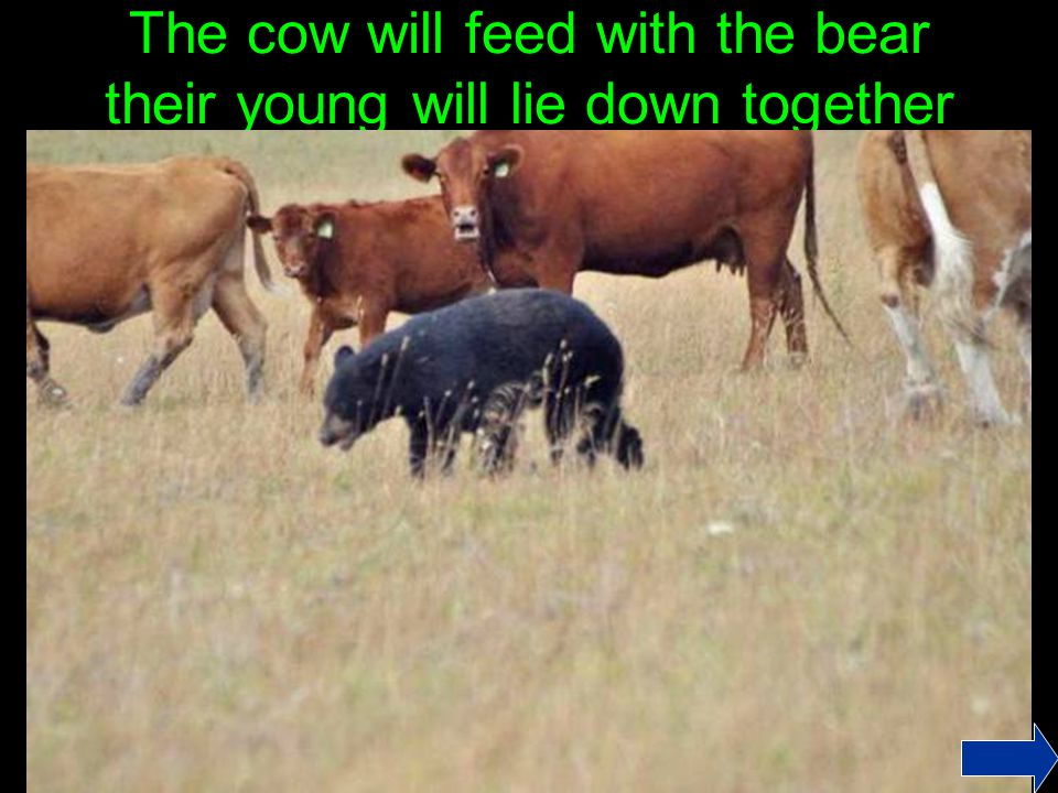 The cow will feed with the bear their young will lie down together