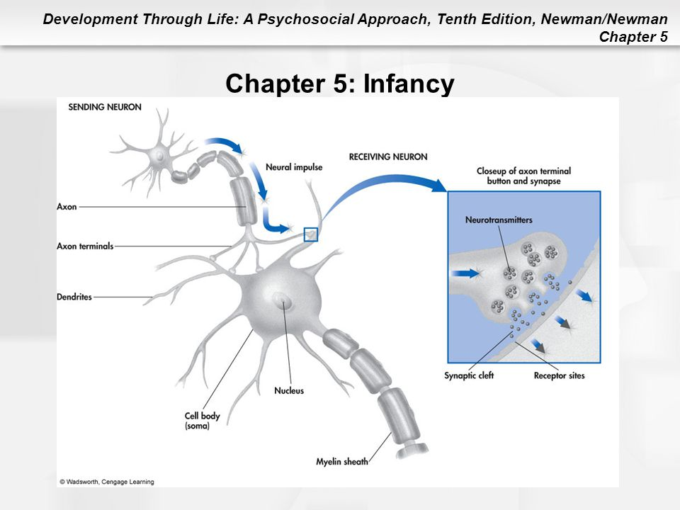 Chapter 5: Infancy Figure 5.1 Model of Neuron