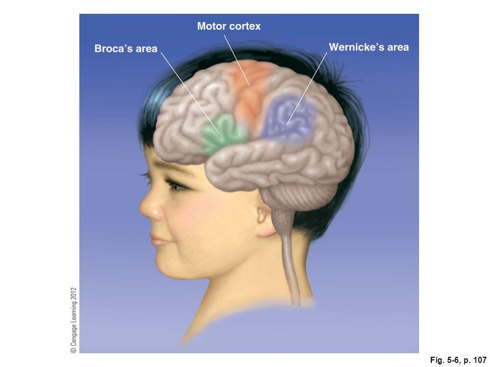 Figure 5.4: Broca's and Wernicke's Areas of the Cerebral Cortex.