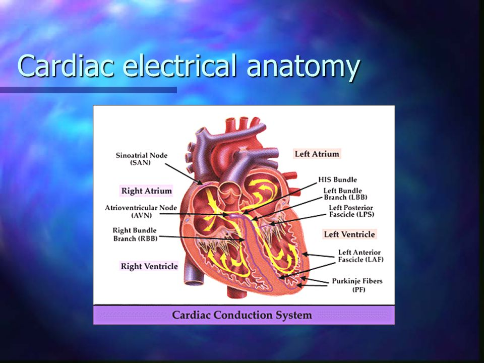 Cardiac electrical anatomy