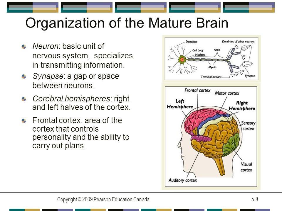 Organization of the Mature Brain
