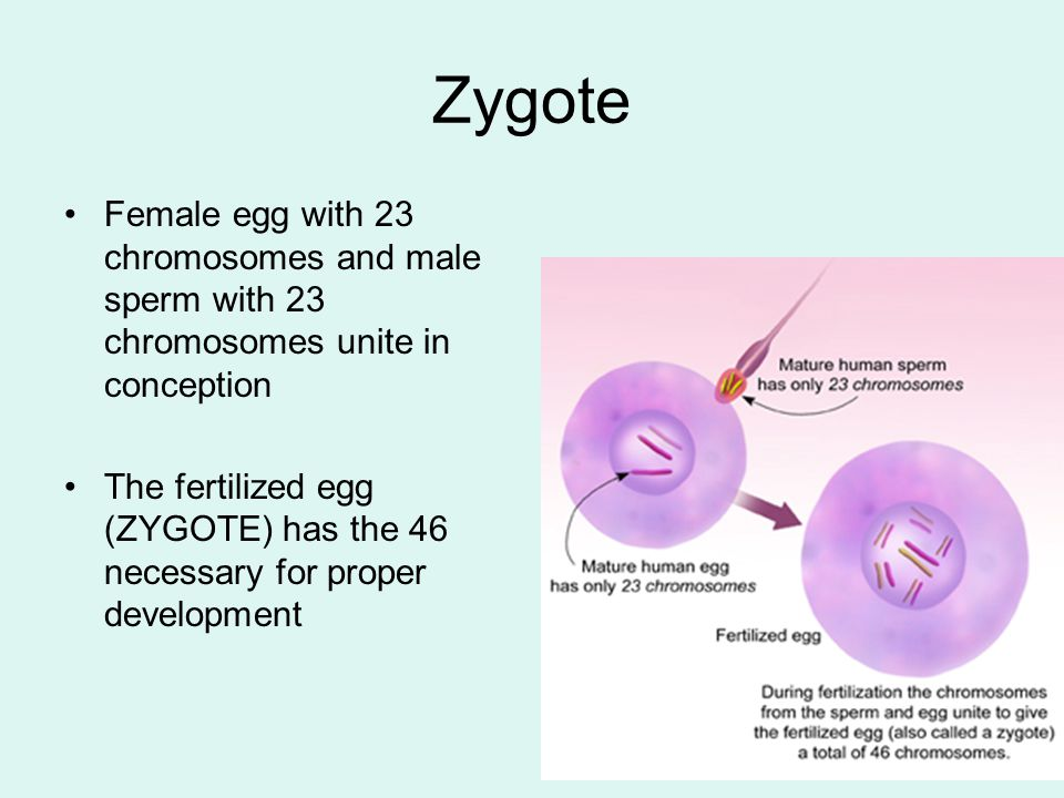Zygote Female egg with 23 chromosomes and male sperm with 23 chromosomes unite in conception.