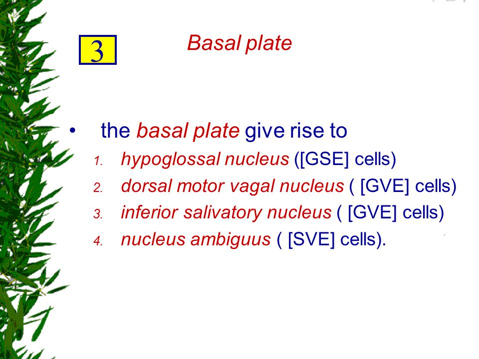 3 Basal plate the basal plate give rise to