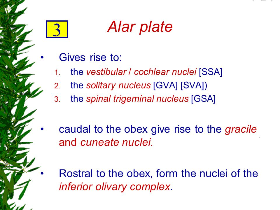 3 Alar plate Gives rise to: