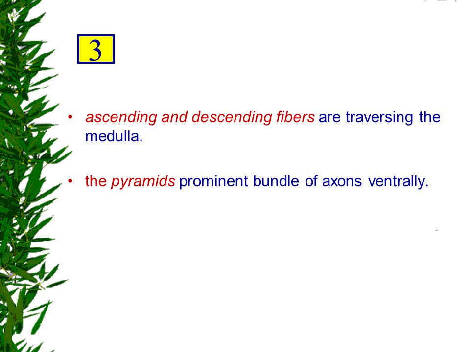 3 ascending and descending fibers are traversing the medulla.
