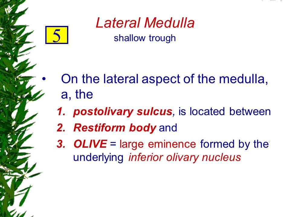 Lateral Medulla shallow trough