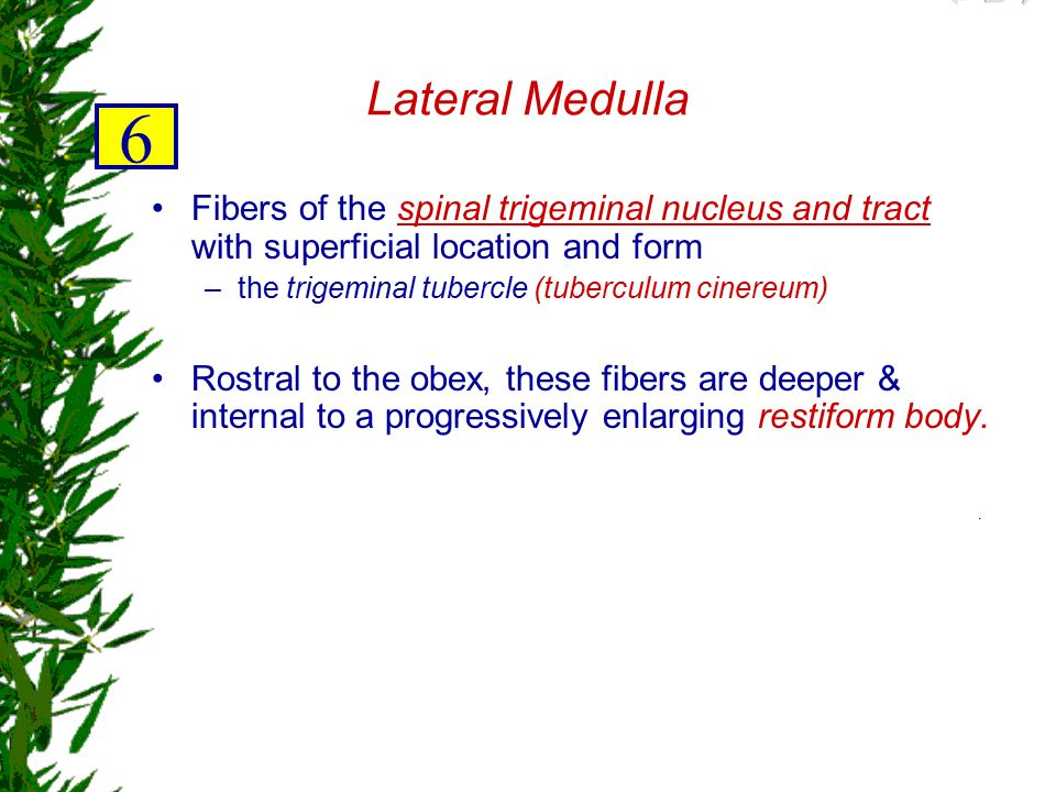 Lateral Medulla 6. Fibers of the spinal trigeminal nucleus and tract with superficial location and form.