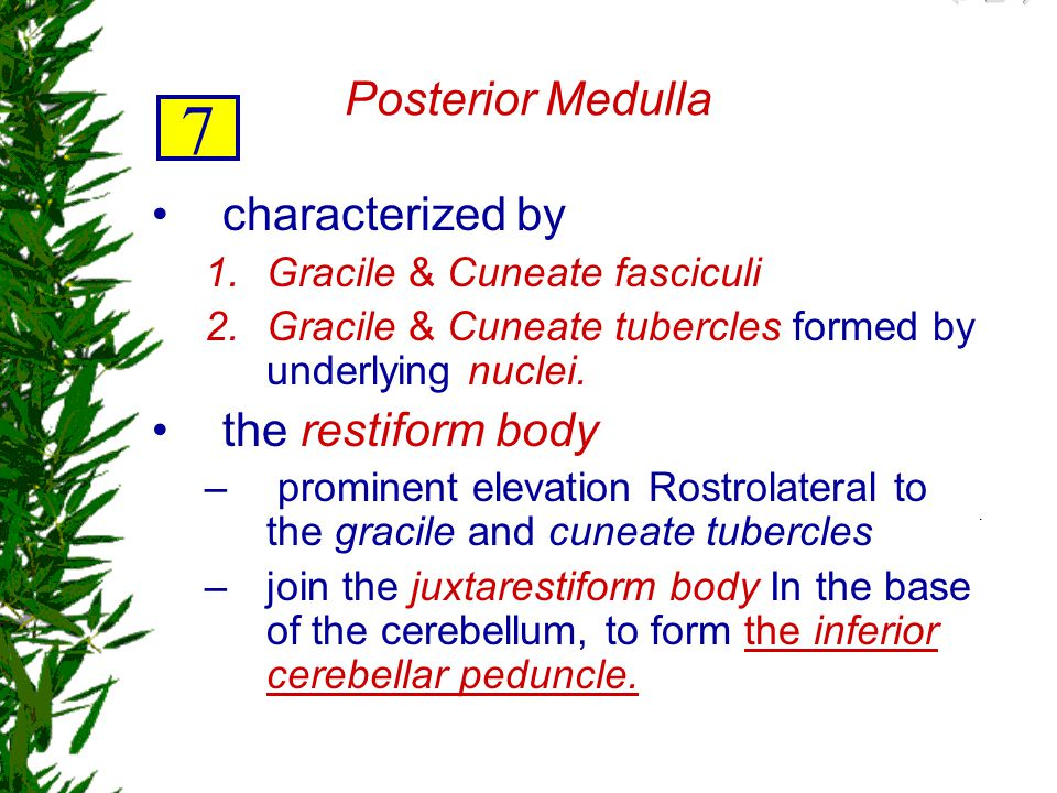 7 Posterior Medulla characterized by the restiform body