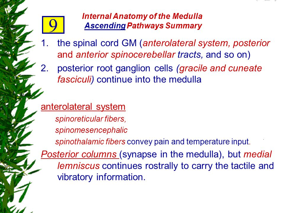Internal Anatomy of the Medulla Ascending Pathways Summary