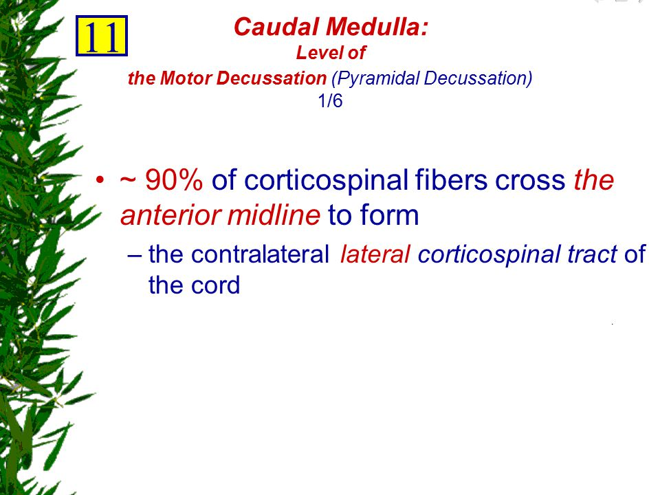 11 ~ 90% of corticospinal fibers cross the anterior midline to form