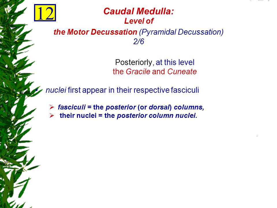 12 Caudal Medulla: Level of the Motor Decussation (Pyramidal Decussation) 2/6. Posteriorly, at this level.
