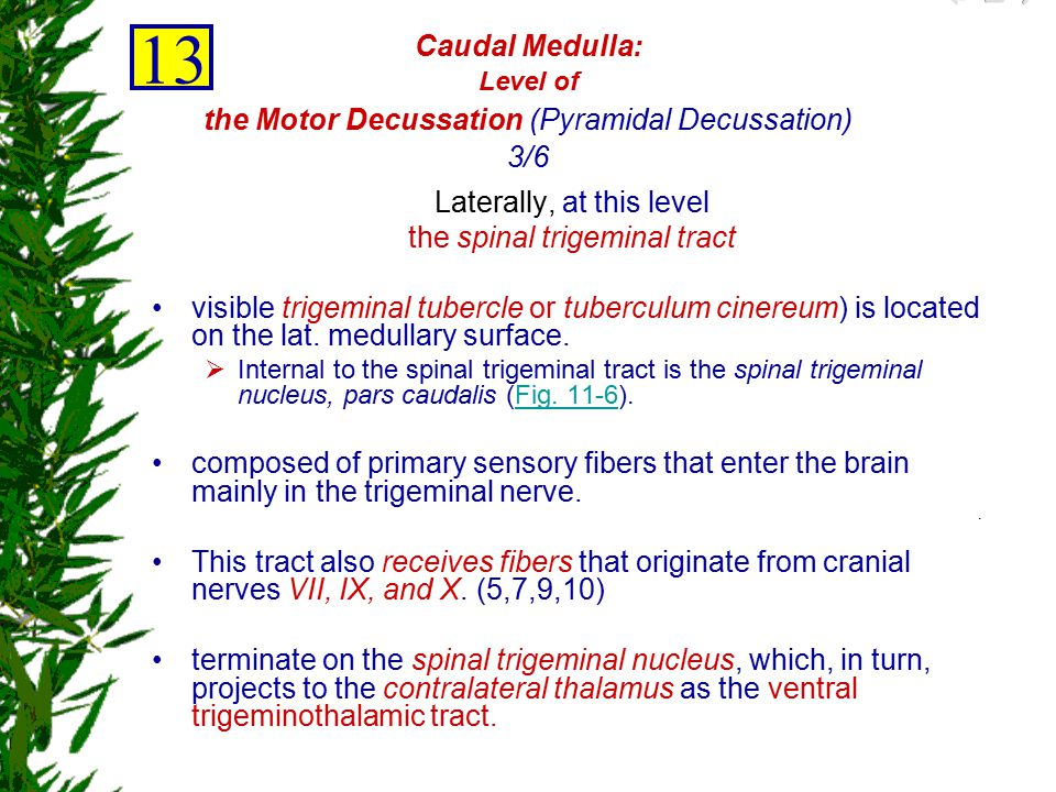 Caudal Medulla: Level of the Motor Decussation (Pyramidal Decussation) 3/6
